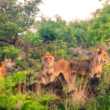 Lions in Chyulu Hills, Kenya